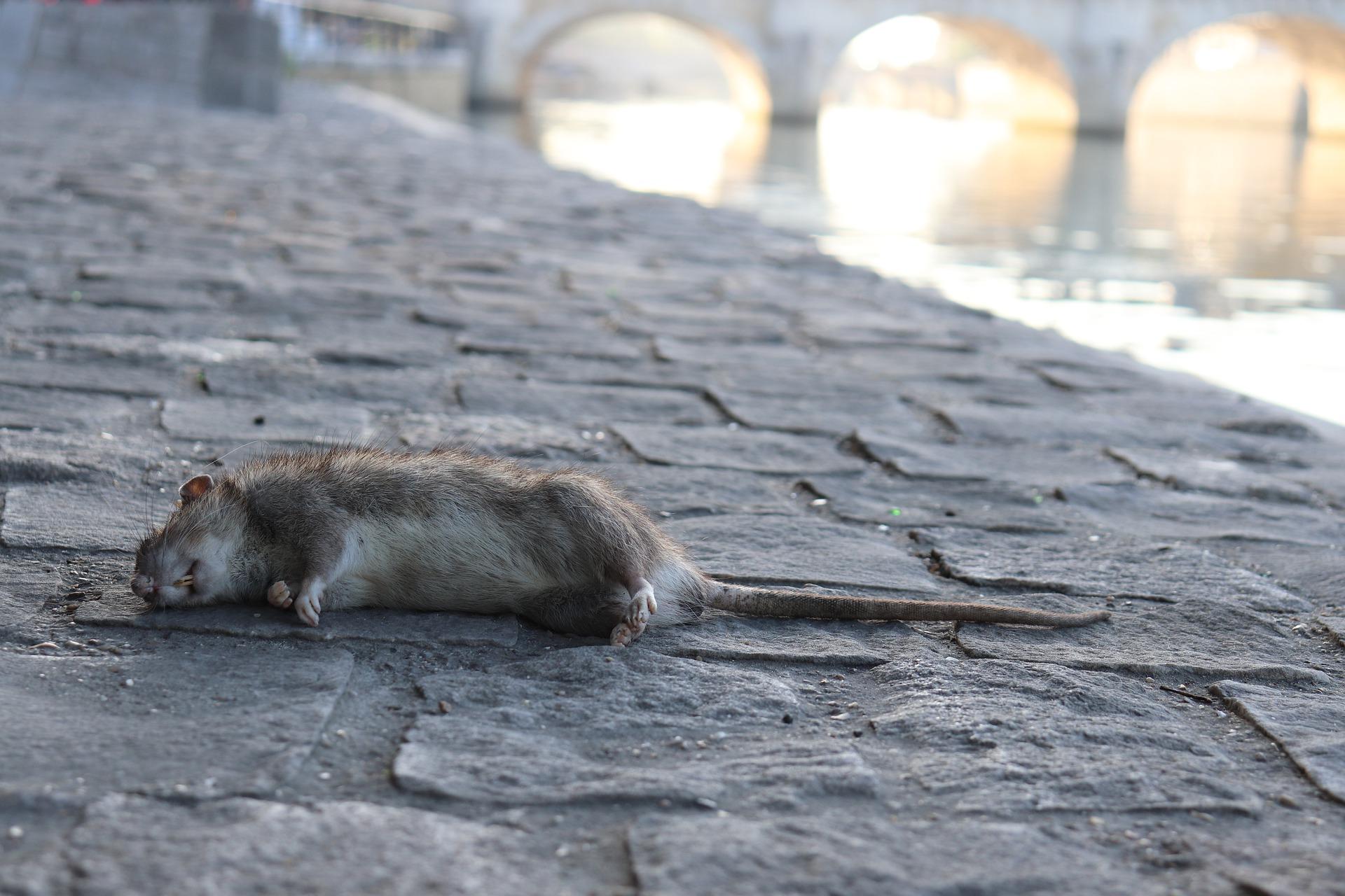 Bébé Rat des Champs Un Danger Croissant